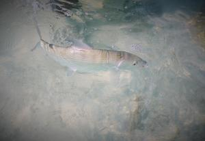 Plenty of bonefish both in the lagoon at Christmas Island and along the outside beaches ...